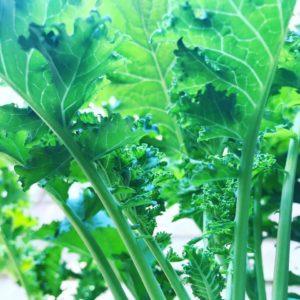 Corona kale harvest_1