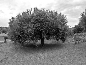 Secular tree_1